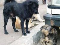 Gestionarea câinilor fără stăpân trebuie să se facă în conformitate cu normele europene
