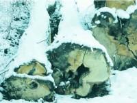 Se fură lemn din pădurile OS Pătrăuți, dar hoții sunt (aproape) de negăsit