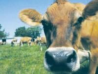 Târgurile de animale din județul Suceava, închise din cauza bolii limbii albastre